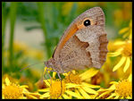 Title: Meadow Brown (Maniola-Jurtina)