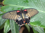 Title: Papilio lowi (Asian swallow tail)