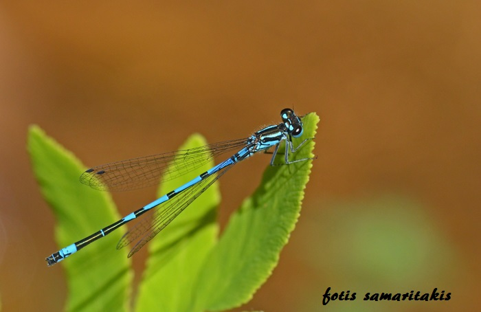 Coenagrion intermedium male