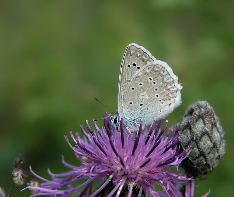 Meleager's Blue