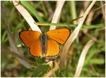 Title: Lycaena disparOlympus C-8080 WZ