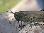 Title: Egyptian Grasshopper