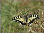 Title: My first machaon ;-)