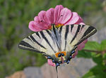 Title: Scarce Swallowtail