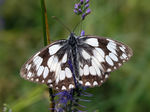 Title: Marbled whiteOlympus C-8080 WZ