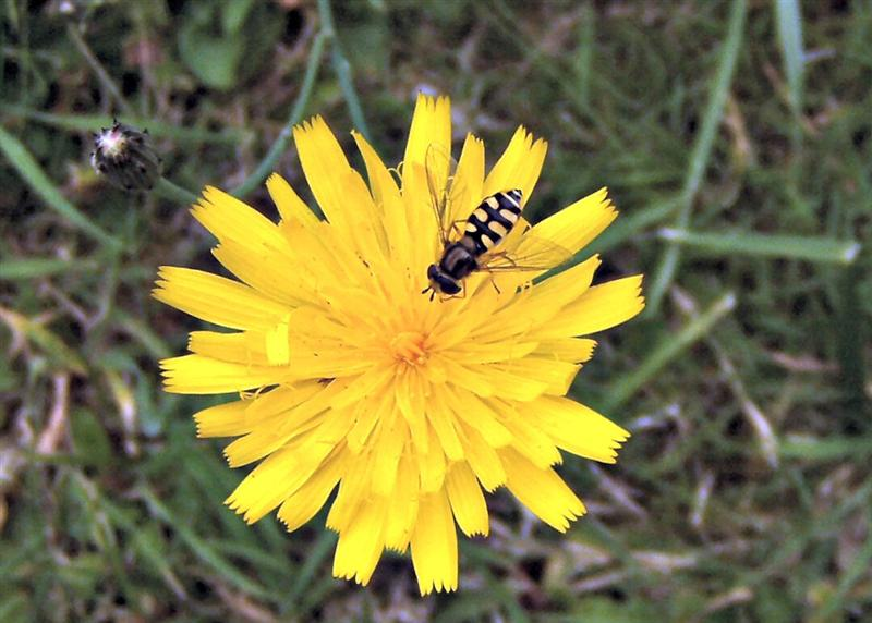 Dandelion and Hoverfly