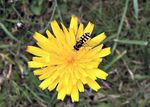 Title: Dandelion and Hoverfly