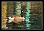 Title: Goose on striped water