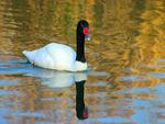 Title: Black Necked Swan