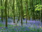Title: Bluebell wood
