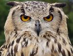 Title: Eagle owl Camera: olympus 720 uz