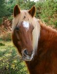 Title: New Forest Pony