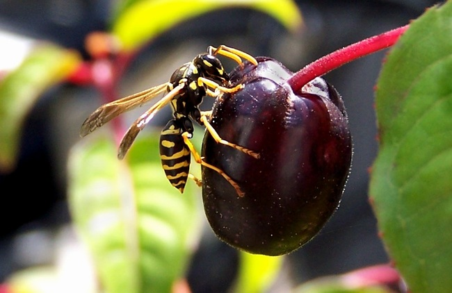 Hungry Wasp