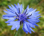 Title: Cornflower after rain
