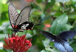 Title: Common Mormon butterfly
