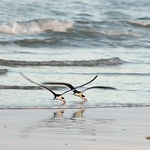 Title: A pair of Black Skimmers