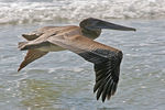 Title: Brown Pelican above the waves