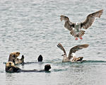 Title: Sea Otter airforce