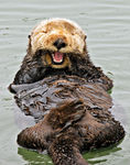 Title: Sea Otter flossing