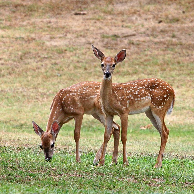 Spotted Fawns