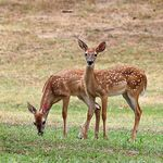 Title: Spotted FawnsCanon 20D