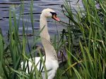 Title: Swan In Reeds