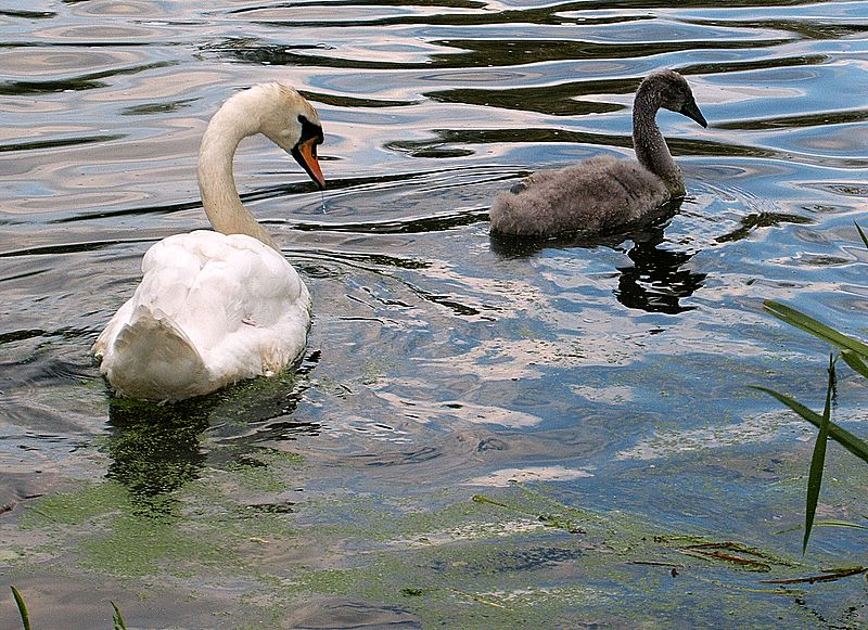 Swan And Infant