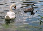 Title: Swan And Infant