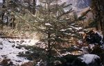 Title: Snow on a Sapling of Pine
