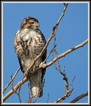 Title: Red-tailed hawk - Immature