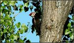 Title: Grand pic / Pileated woodpecker
