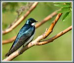 Title: Tree Swallow