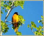 Title: Northern Oriole