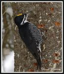 Title: Black-backed woodpeckers