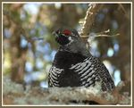 Title: Spruce grouse