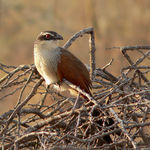 Title: White-Browed Coucal
