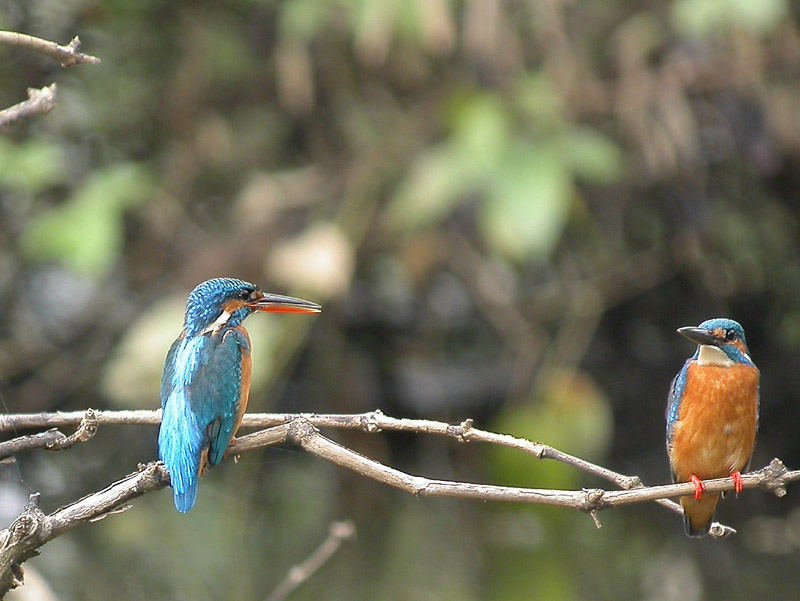 Kingfisher couple