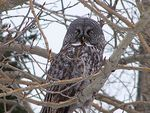 Title: Great Gray Owl