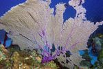 Title: Sea Fan