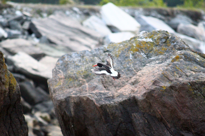The Eurasian oystercatcher