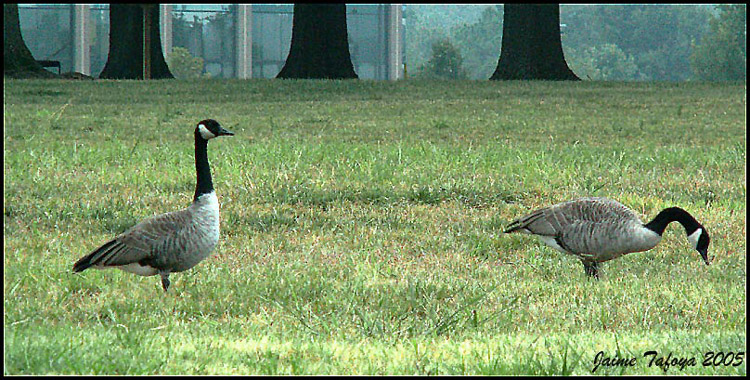 Geese at Work