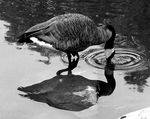 Title: Goose Reflection