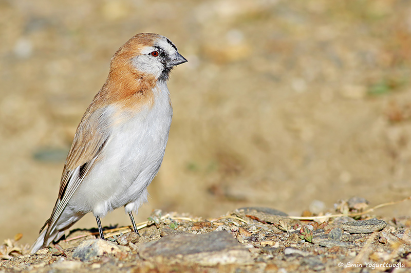 Blanford's snowfinch - 1st for TN