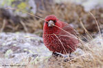 Title: Great Rosefinch