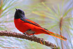 Title: Long-tailed Minivet