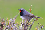 Title: White-tailed Rubythroat