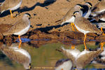 Title: 1st for TN - Spot-breasted Lapwing