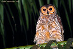Title: Spotted Wood-owl