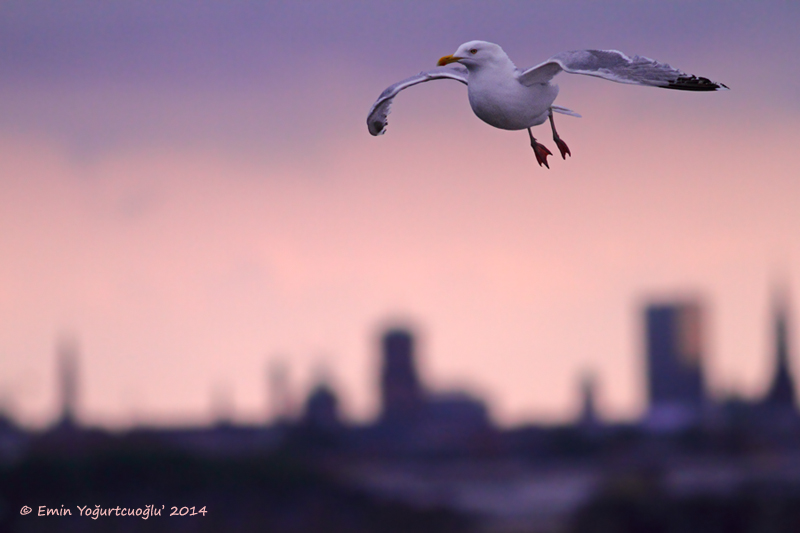 Herring Gull over Copenhagen
