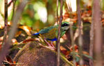 Title: Bar-bellied Pitta